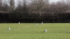 Pigeon Birds Walk / Hop Along on Green Grass Field Stock Footage