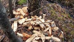 Beaver damage to trees in Sweden Stock Footage