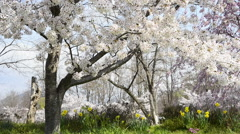 Cherry full bloom Stock Footage