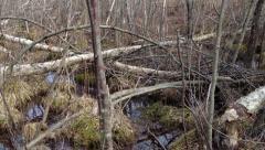 Beaver damage in Sweden - devastated Birch trees Stock Footage