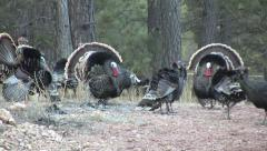 Bearded Turkey Gobblers Strut, Chase & Try to Court Hens w Audio Stock Footage