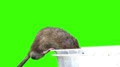 Grey Rat Stock Footage