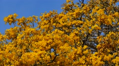 Cassia Trees with bees Stock Footage