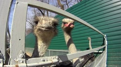 Ostrich trying to bite the camera Stock Footage