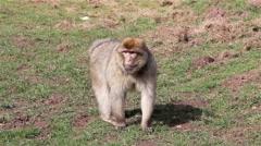 Monkey Walking Towards Camera - Barbary Macaques of Algeria & Morocco - stock footage