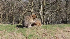 Monkey grooming another on a grassy bank - Barbary Macaques of Algeria & Morocco Stock Footage