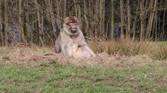 Monkey Chewing on Grassy Bank - Barbary Macaques of Algeria & Morocco Stock Footage