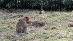 Monkey Eating Apple Fruit - Barbary Macaques of Algeria & Morocco - stock footage