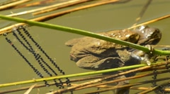 Frogs during reproduction - stock footage