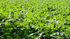 Plantation of crops like lettuce in the field Stock Footage