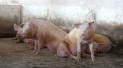 Pink pigs on a farm,  3 Stock Footage