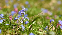 Spring flowers Scilla bifolia Stock Footage