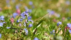Spring flowers Scilla bifolia Stock Footage