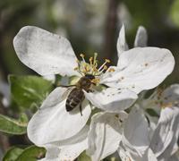 Bee on a flower apple tree - stock photo