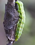 Cocoons parasite and pest pear weevils. - stock photo