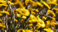 4K UHD - Coltsfoot (Tussilago farfara) Stock Footage