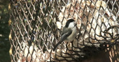 Chickadee eating from a feeder Stock Footage