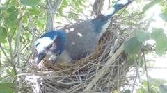 Scrub Jay Nest Documentary feeding and egg adjustment GoPro Hero3+ Black V17116 Stock Footage