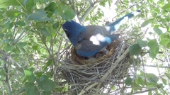 Scrub Jay Nest Documentary standing shading calling for food GoPro V17154 Stock Footage