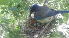 Scrub Jay Nest Documentary standing on nest adjusting eggs GoPro Hero3+ V17160 Stock Footage