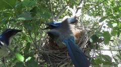 Scrub jay Documentary bird quick feeding and male bails GoPro Hero3+ V17185 Stock Footage
