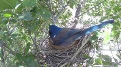 Scrub jay Documentary feeding and female leaves nest GoPro Hero3+ Black V17189 Stock Footage