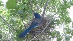 Scrub jay Documentary female on nest calling GoPro Hero3+ Black V17198 Stock Footage