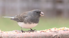 Junco Songbird feeding Stock Footage