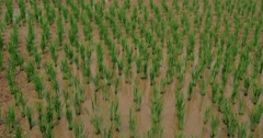 Rice Paddy in Thailand Stock Footage
