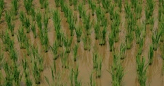 Rice Paddy in North Thailand Stock Footage