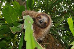 Cute three-toed sloth in a jungle tree wild animal Stock Photos