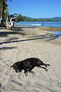Labrador dog sleeping on sandy beach in Costa Rica Stock Photos