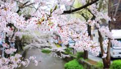 Cherry blossom season in Kyoto. Stock Footage