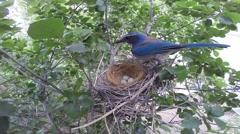 Scrub jay Documentary bird returns to nest wide view GoPro Hero3+ Black V17207 Stock Footage