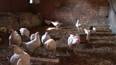 Broiler chicken feed in henhouse. Grow hen poultry meat for food Stock Footage
