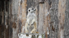 Meerkat standing on stump Stock Footage