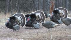 Armada of Strutting Gobblers Comes Close w/Audio Stock Footage