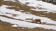 Alpine ibex grazes Stock Footage