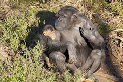 Chimpazee mother and baby Stock Photos