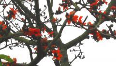Bombax ceiba flower Stock Footage