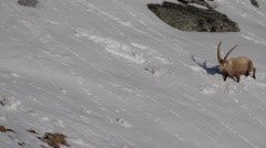 Ibex walks in snow Stock Footage