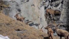 Alpine ibex herd moving - stock footage