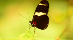 Laparus Doris Butterfly on a leaf with good visible tongue Stock Footage