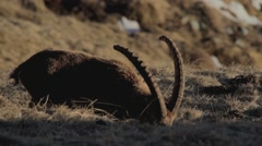 Ibex grazes, afternoon light Stock Footage