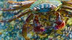 Grapsus tenuicrustatus. Crab feeds on the surface of the stone close up Stock Footage