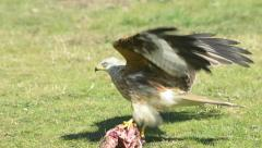 Red kite feeding outdoors Stock Footage