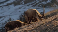 Ibexes in the afternoon light Stock Footage
