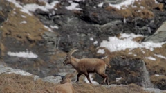 Alpine ibex herd Stock Footage