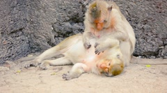 Crab Eating Macaque Monkeys Relaxing amongst the Rocks Stock Footage