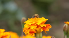 Bumblebee collects nectar in yellow flowers in summer herb garden - stock footage
